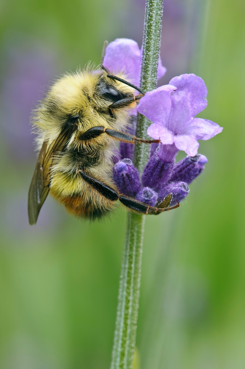 Photograph of Bumble Bee on Lavender taken on Vancouver Island