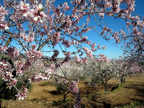 The almond trees are blooming