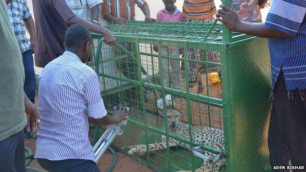 cheetahs kenya