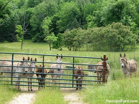 Donkey staredown - FarmgirlFare.com