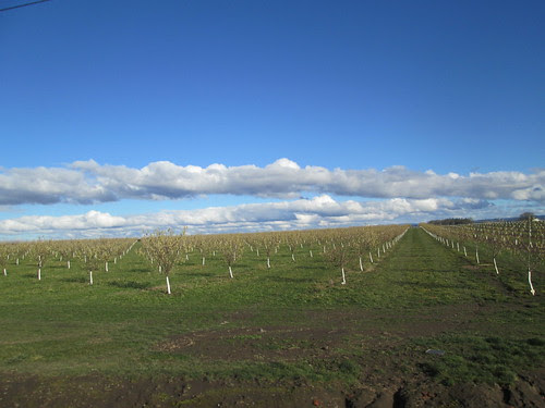 Trees in rows. And good clouds