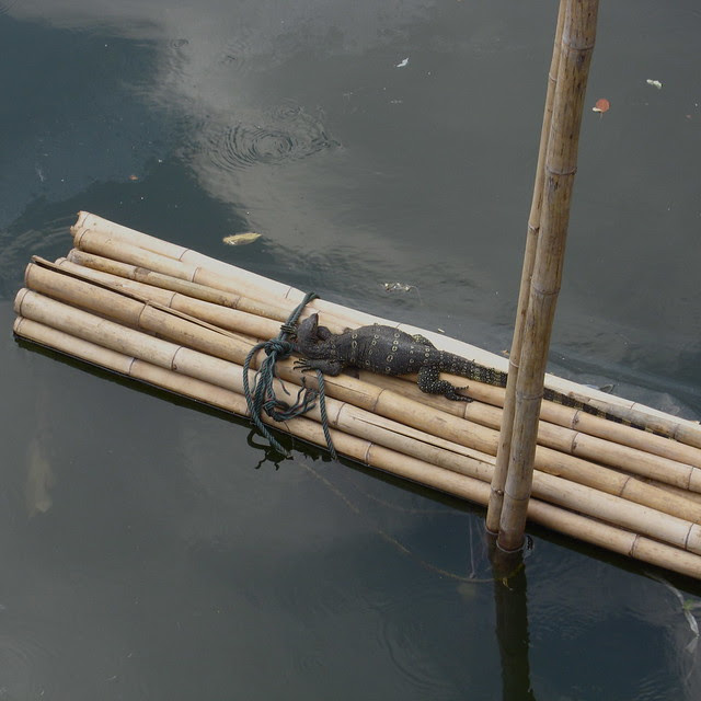 Monitor lizard hanging out on the river, Bangkok