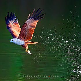 Brahminy Kite by mommam 777 (mommam777) on 500px.com