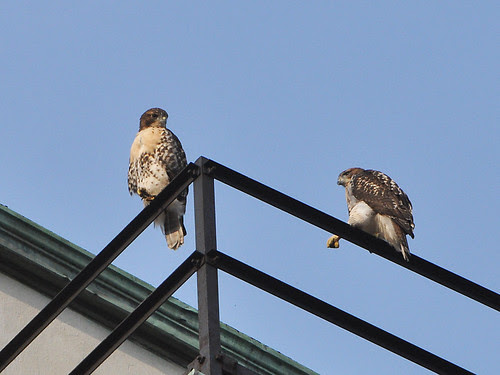 Two Hawks on a Hospital