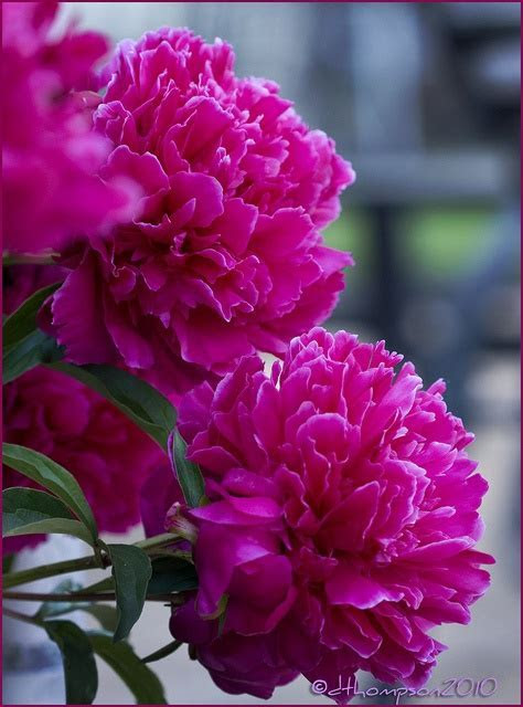 17 Best images about Flowers   Peonies on Pinterest