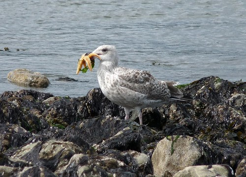 22246 - Herring Gull eating Starfish