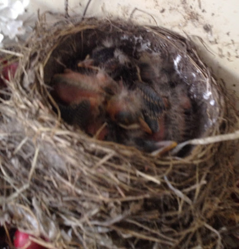 baby robins in the nest - Monday morning