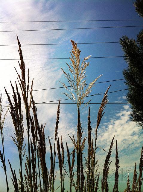 IMG_0694 Pampas Grass