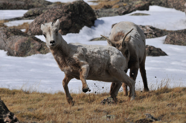 bighorn on Mount Evans
