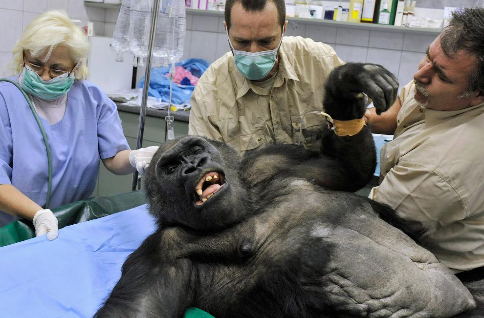 Ветеринари готують горилу до видалення пухлини, Будапешт