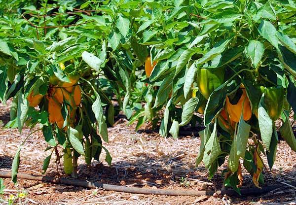 Plantas com pimentões amarelos
