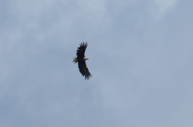 24536 - White Tailed Sea Eagle, Isle of Mull