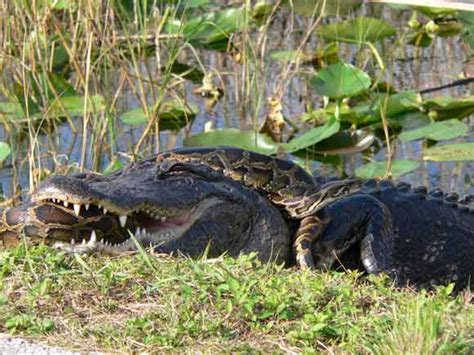 Alligator Vs. Python   Video, Pictures, and Ananlysis