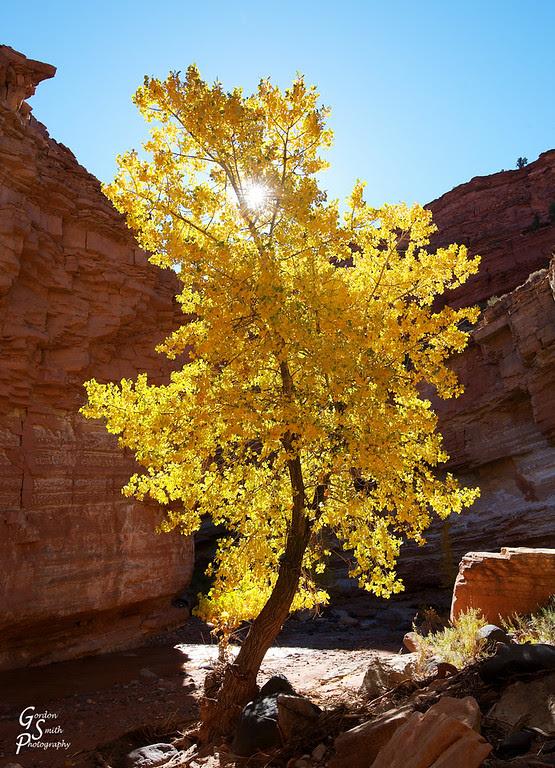 Autumn cottonwood tree with sun burst