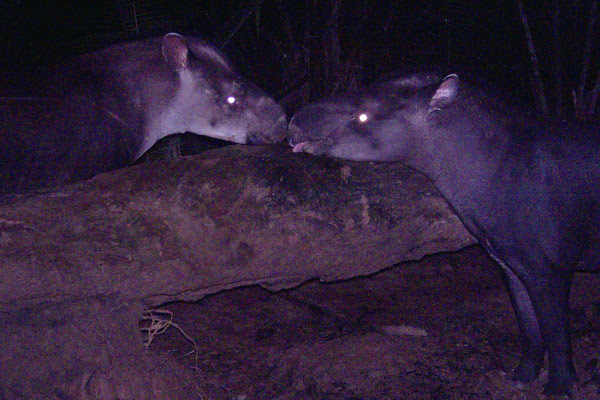A pair of Kobomani tapirs caught on camera trap. The individual on the left is a female and on the right a male. Females of the new species are characterized by a light patch on lower head and neck. Photo courtesy of Fabrício R. Santos.