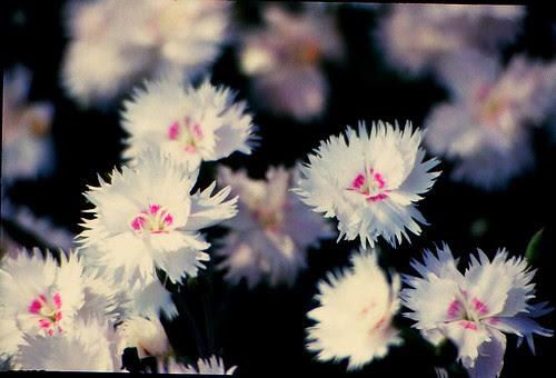 IMG_00066_Flowers_1983