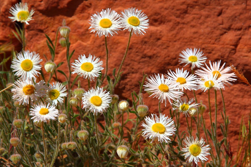 IMG_2514 Wildflower, Bright Angel Trail