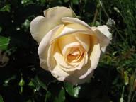 Hermann Hesse Rose Foto Brandt