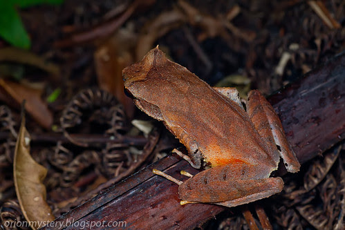 _MG_8941 copy long legged horned frog, Xenophrys longipes