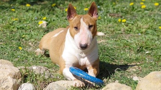 Consejos para ayudar a socializar a nuestro perro bull terrier miniatura