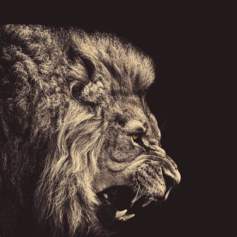 lion wallpapers  iphone  ipad