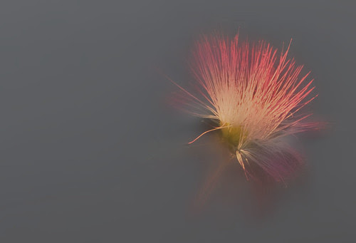 Mimosa Blur 2 copy