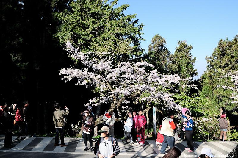 阿里山櫻花季55
