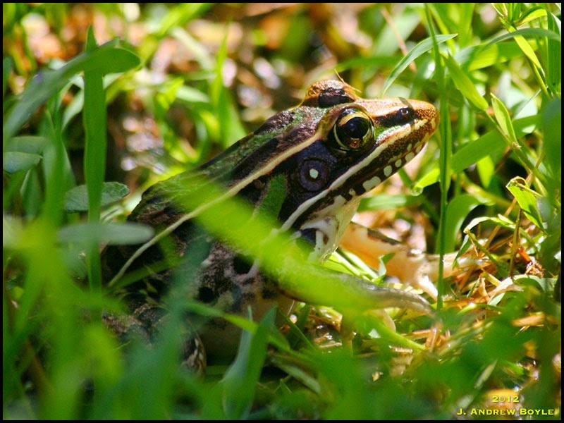 Florida Leopard Frog