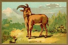 mouflon
