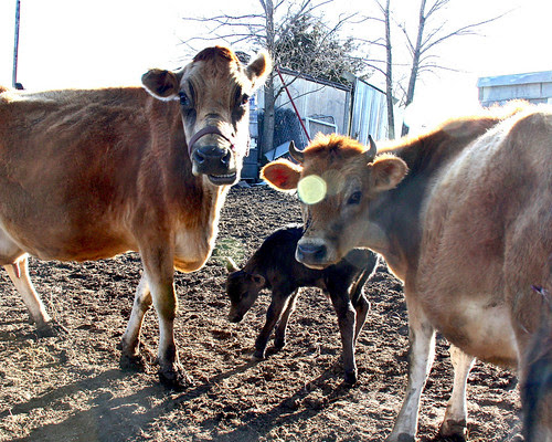 Three generations...Daisy my birthday cow (purple halter)...with her daughter Shasta, and Shasta's new baby boy!