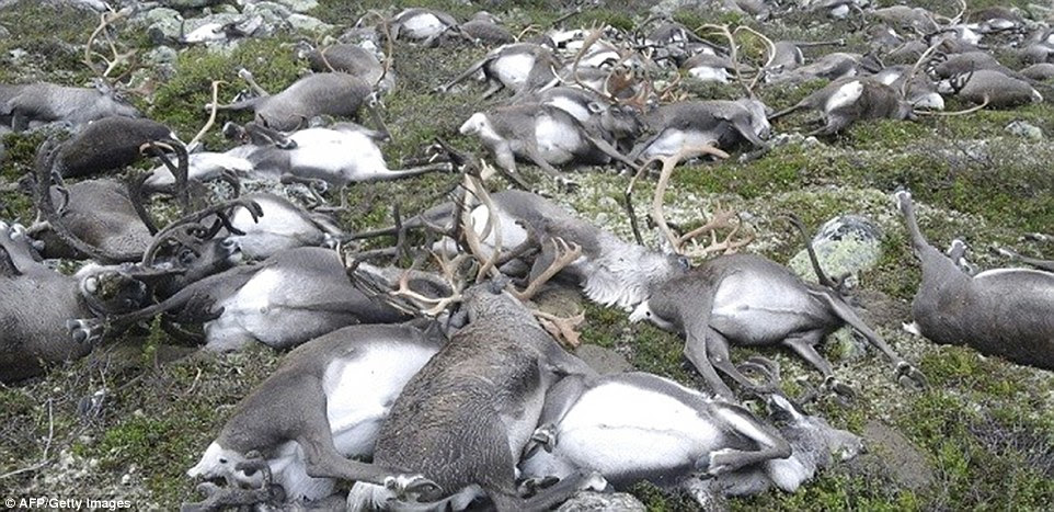 These dead reindeer were among thousands which normally migrate across the Hardanangervidda plateau as the seasons change