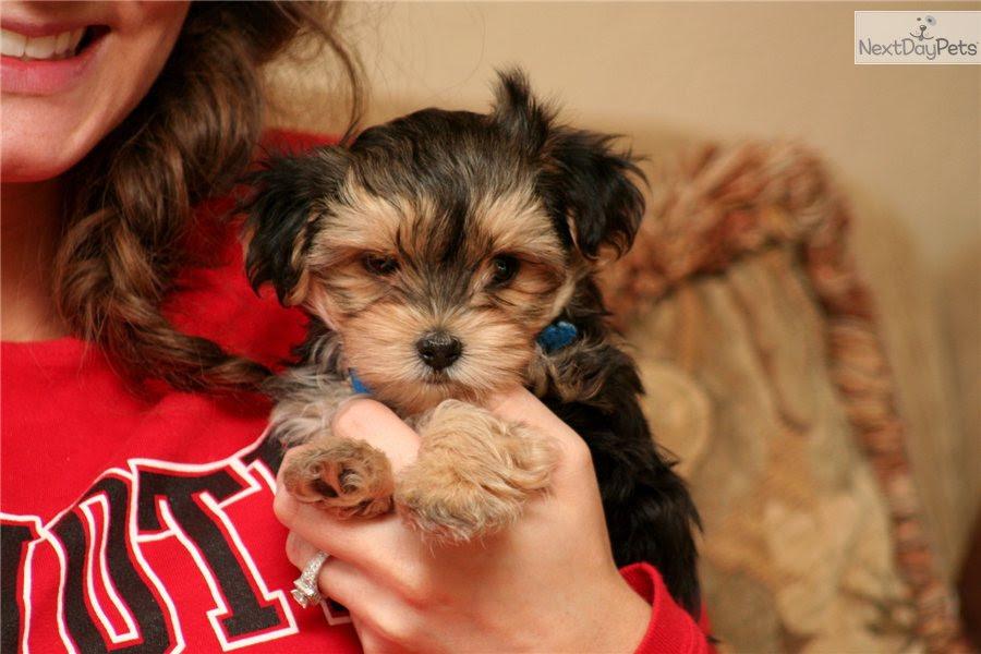 Buy Morkie / Yorktese puppy for sale near Sioux City, Iowa USA