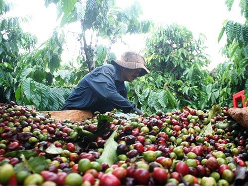 Giá cà phê giảm sâu khiến người trồng gặp nhiều khó khăn