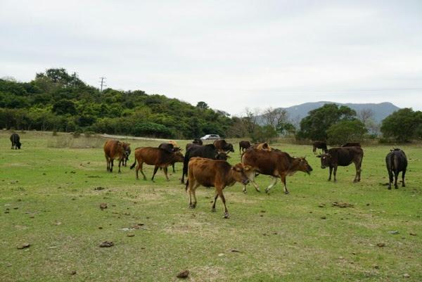 西貢牛放逐萬宜水庫 母子分離 無啖好食