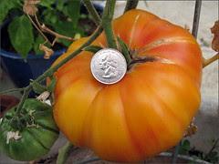 Huge orange tomato