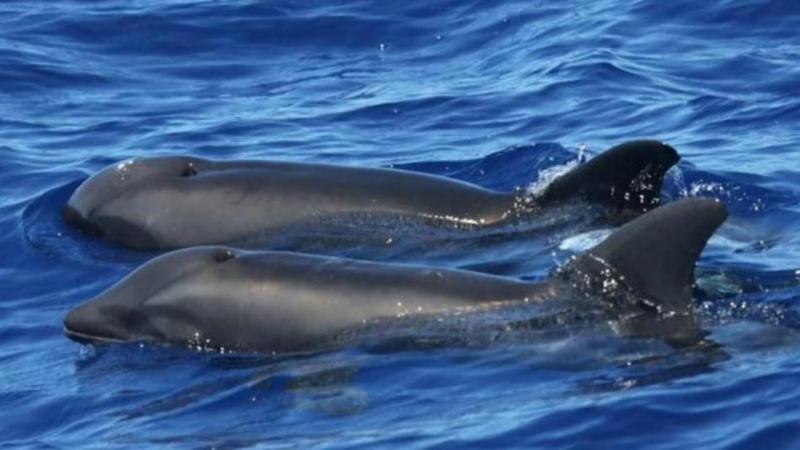 Híbrido baleia-golfinho avistado nas águas do Havai