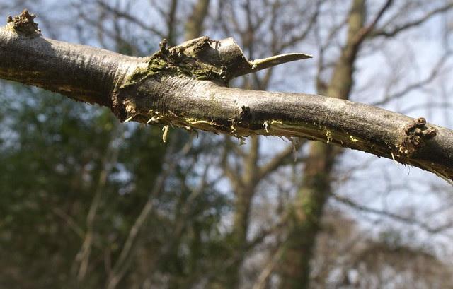 DSC_8153 layering a tree