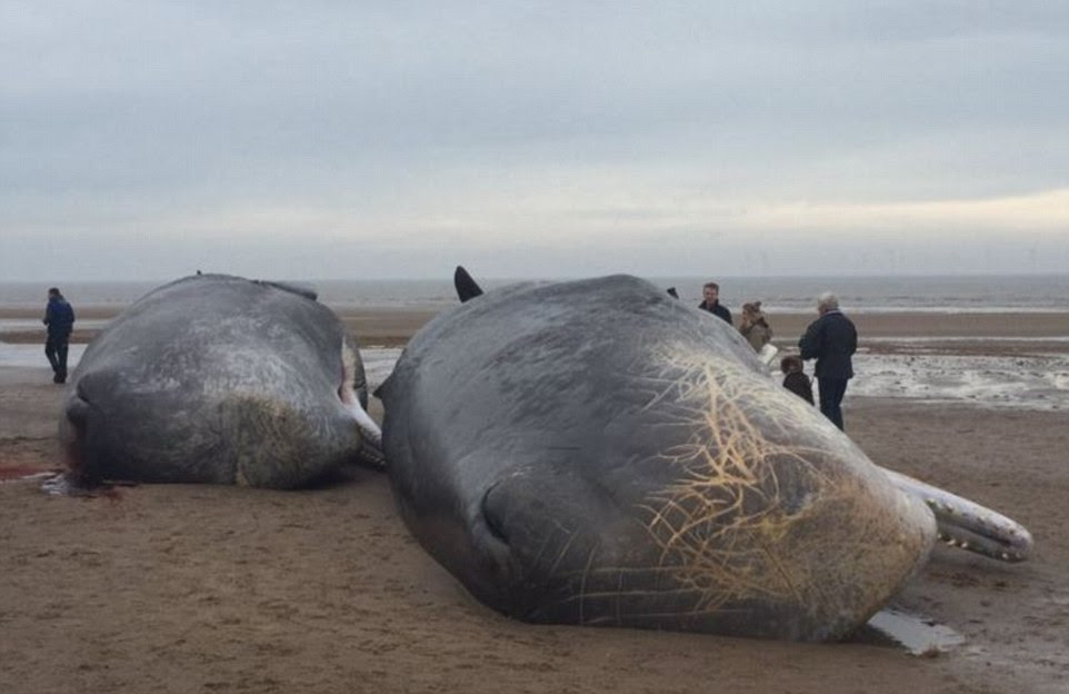 Beached: A further two whales, pictured, were washed up south of the town after, it is believed, their pod got into trouble just off the coast