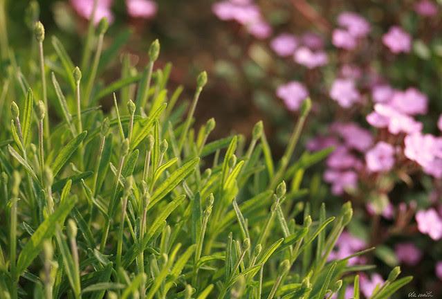 lavender and saponaria in my little garden