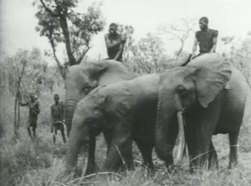 Elephant%20Capture-15 by bucklesw1
