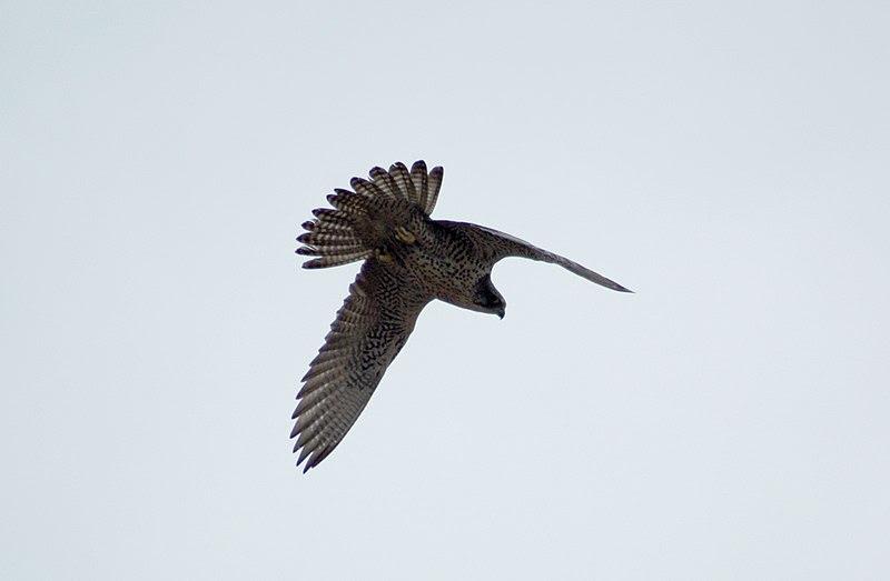 File:Gyrfalcon (falco rusticolus) in flight.jpg