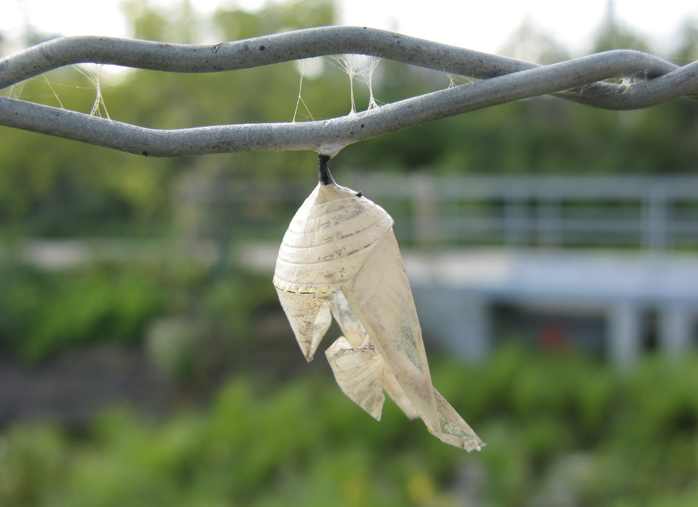 Yellow Bear Caterpillar Cocoon The remains of a pupa,