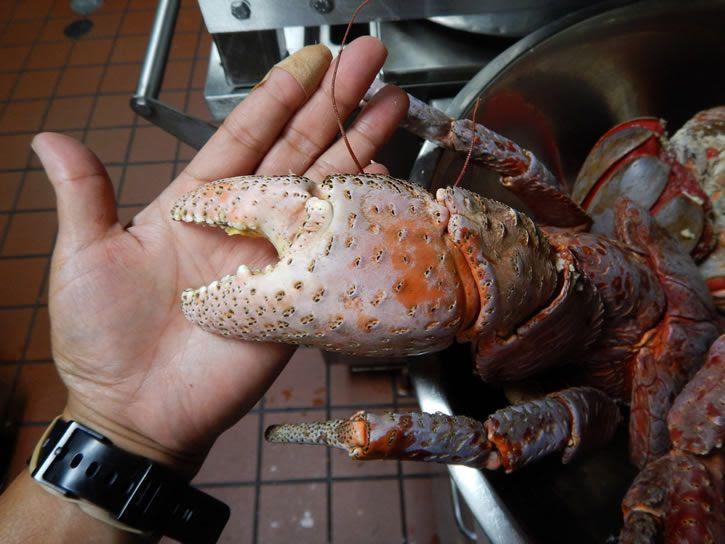 Tenaza cangrejo cocoteros