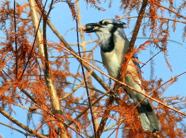 Blue Jay with acorns 20110105