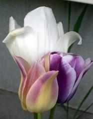 Tulip_5510e