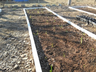 Garlic 2012 Planted with Growth Full Bed