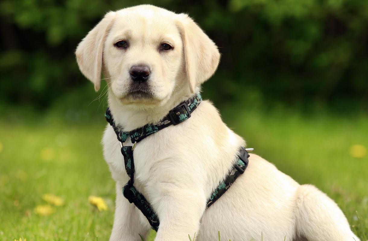 Labrador Puppy For Sale ADOPTION In Australian Capital Territory Australia