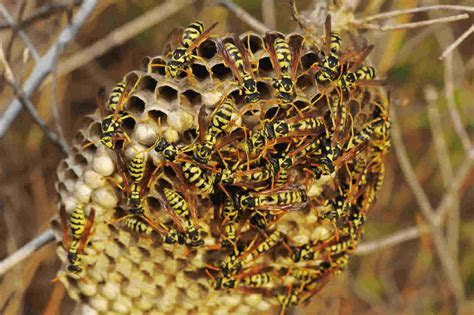 Wasp Nest Images Images Of Wasp Nests