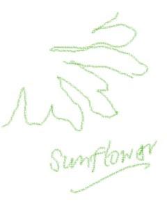 Sunflower sketch