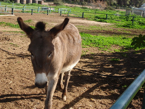 Burro at the Bitan Aharon horse and donkey sanctuary